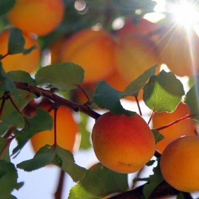 kayısı sadece meyve değildir